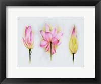 Lotus Tryptic Fine Art Print