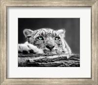 Pop of Color Snow Leopard Eyes Fine Art Print