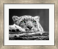 Pop of Color Snow Leopard Eyes Fine Art Print