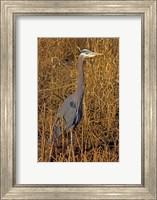 Washington, Seattle, Discovery Park Great Blue Heron Fine Art Print