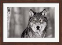 Pop of Color Wolf Fine Art Print