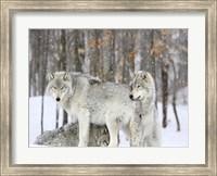 Grey wolves huddle together during a snowstorm, Quebec Fine Art Print