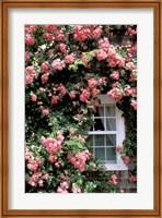 Massachusetts, Nantucket Island, Roses and home Fine Art Print