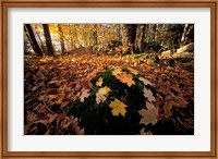 Sugar Maple Leaves on Mossy Rock, Nature Conservancy's Great Bay Properties, New Hampshire Fine Art Print