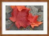 Sugar Maple Foliage in Fall, Rye, New Hampshire Fine Art Print