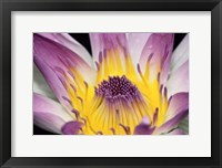 Purple Panama Pacifica Nymphea, Fiji, Oceania Fine Art Print