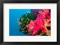 Multicolor Soft Corals, Coral Reef, Bligh Water Area, Viti Levu, Fiji Islands Fine Art Print