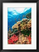 Fairy Basslet fish Swimming, Viti Levu, Fiji Fine Art Print