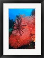 Pristine Gorgonian Sea Fans marine life, Fiji Fine Art Print