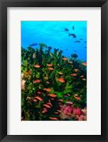 Fairy Basslet fish in Clear Blue Waters, Viti Levu, Fiji Fine Art Print