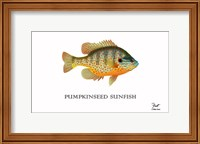 Pumpkinseed Sunfish Fine Art Print