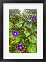 Morning Glories Vertical Fine Art Print