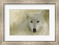 Portrait Of A Timber Wolf Fine Art Print