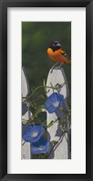 Oriole Morning Glories Fine Art Print