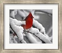 Cardinal Fine Art Print