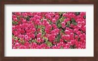 Red Azalea Flowers, Sacramento, California Fine Art Print