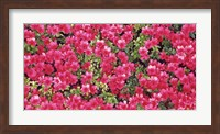 Red Azalea Flowers, Sacramento, California Fine Art Print