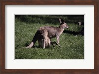 Kangaroo 1 Fine Art Print