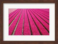 Tulip Field Hot Pink Fine Art Print