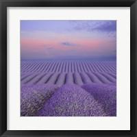 Lavender Field at Dusk Fine Art Print