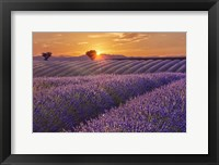 Lavender Field at Sunset Fine Art Print