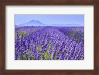 Lavender Field Close Up Fine Art Print