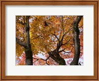 Fall Leaves on Maple Tree, Japan Fine Art Print