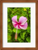 Ranthambore, Rajasthan, India, Hibiscus Flower Fine Art Print