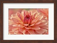 Peach Colored Dahlia Flower Fine Art Print