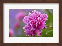 Peony Flower Fine Art Print