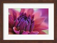 Dahlia Centre Pink Purple Fine Art Print