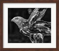 Red Kite Taking Off  - Black & White Fine Art Print