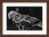 Red Kite Looking Down - Black & White Fine Art Print