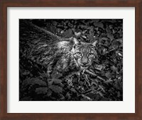 The Lynx Looking Up - Black & White Fine Art Print