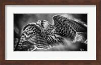 Predator Bird Spreading it's Wings - Black & White Fine Art Print