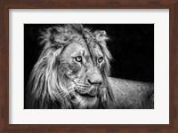The Lion III - Black & White Fine Art Print