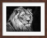The Lion V - Black & White Fine Art Print
