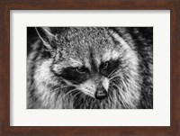 The Raccoon - Black & White Fine Art Print