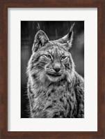 Lynx in the Rain - Black & White Fine Art Print