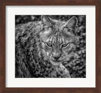 The Lynx II - Black & White Fine Art Print