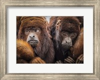 Oranje Monkeys Fine Art Print