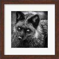 Silver Fox Black & White Fine Art Print