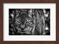 Lynx Front  Black & White Fine Art Print