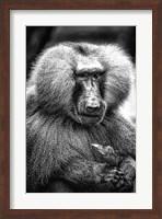 Baboon  Black & White Fine Art Print
