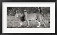 Lion Walking in African Savannah Fine Art Print