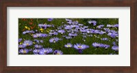 Field Of Asters Colorado Mtns Fine Art Print