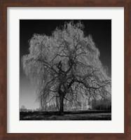 Willow Fine Art Print