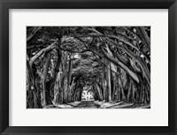 Cypress Trees Black & White Fine Art Print
