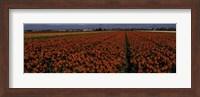 Tulip Field 2 Crop Fine Art Print