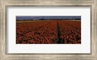Tulip Field 2 Crop 2 Fine Art Print